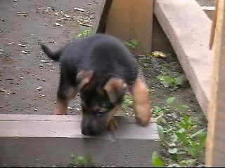тестирование щенков
