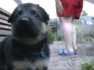 тестирование щенков немецкой овчарки
